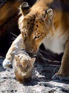 Anne Aslan ile sevimli yavru