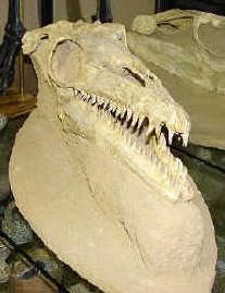 The Dinosaur Store - Rare Authentic Fossils