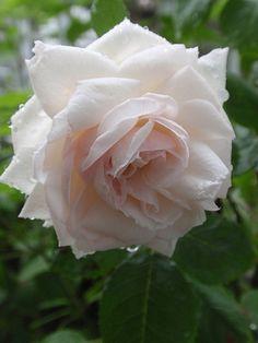 Hybrid Perpetual Rose: Rosa 'Elisa Boëlle' (France, 1869)