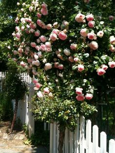 "Blush-pink ""Eden"" roses tumbling over front-entry arch 