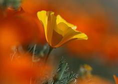 Califonia Poppy
