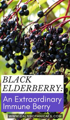 Black Elderberry: An Extraordinary Immune Berry Good Health Tips, Health And Fitness Tips, Herbs For Sleep, Tea Before Bed, What Is Water, Herbs List, Chamomile Tea, Natural Herbs