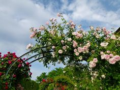 Quick Guide to Climbing Roses