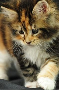 Ever played with a Maine Coon kitten?  Look at those gorgeous big feet!  Loving, gentle giants...