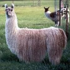 K-Tu in full fleece Lamas, Google Search