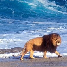 The Barbary Lion: Considered The Largest in The World.       (Photo By: @davedeepwater )