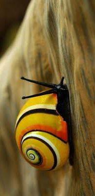 ˚Cuban Land Snail