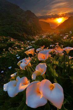 Calla lily valley