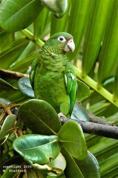 Cotorra puertorriqueña (Puerto Rican parrot), endangered species, largest population found in El Yunque National Rainforest, Puerto Rico