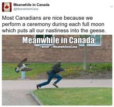 Most Canadians are nice because we perform a ceremony during each full moon which puts all our nastiness into the geese ! Image Credit: Meanwhile in Canada Canadian Facts, Canadian Memes, Canadian Things, I Am Canadian, Canadian Humour, Canada Jokes, Canada Funny, O Canada, Stereotypes Funny