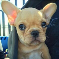Someone's looking oh so skeptical… French Bulldog Puppy, the312frenchie http://ift.tt/2ocYtqJ