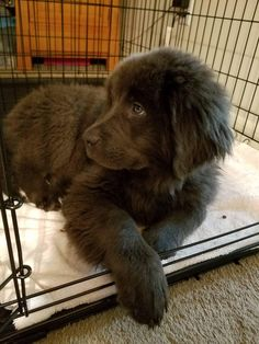 big dogs 35 Adorable Photos Of Newfoundland Dogs Cute Dogs And Puppies, Baby Dogs, Pet Dogs, Cute Big Dogs, Doggies, Cute Dogs Breeds, Adorable Dogs, Photos Of Puppies, Beagle Puppies
