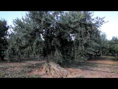 Oli d'oliva verge extra Escornalbou  CAT (DOP SIURANA)