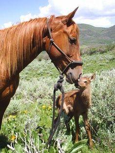 On Elk Head Ranch CO. Day old Elk Fawn.