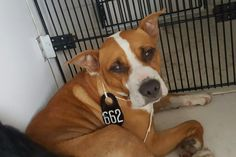 05/16/16--HOUSTON- -EXTREMELY HIGH KILL FACILITY - This DOG - ID#A459105 I am a female, brown and white Pit Bull Terrier mix. The shelter staff think I am about 1 year and 6 months old. I have been at the shelter since May 16, 2016. This information was refreshed 47 minutes ago and may not represent all of the animals at the Harris County Public Health and Environmental Services.