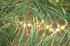 Cebolas quase prontas para a colheita