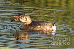 A pied billed grebe catches a meal in Horicon Marsh Wisconsin. These little waterbirds are great divers and can dive deep for a meal.