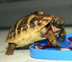 My Tortoise, Boris has the same spunky attitude around feeding time.
