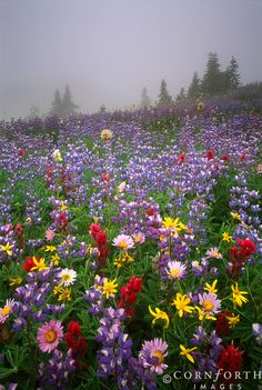 Wildflower Mist Mount Rainier National Park, Washington