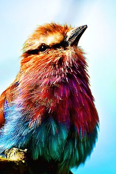 Only God could make the colors so bright and beautiful on this Lilac-breasted Roller Pretty Birds, Love Birds, Beautiful Birds, Beautiful World, Animals Beautiful, Cute Animals, Lilac Breasted Roller, Colorful Birds, Exotic Birds