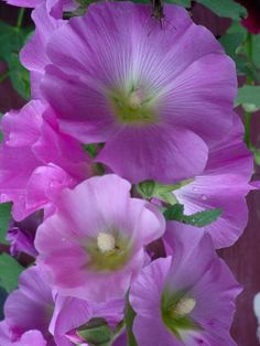 Hollyhocks. My Grandma grew these on the farm. My Aunt Donna lives there now and still has them.