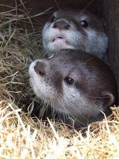 http://fc05.deviantart.net/fs37/i/2008/246/d/7/Short_Clawed_Otters_by_Oraa.jpg