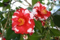 Adolphe Audisson Special Camellia,Camellia japonica 'Adolphe Audisson Special', copyright © almostedenplants.com