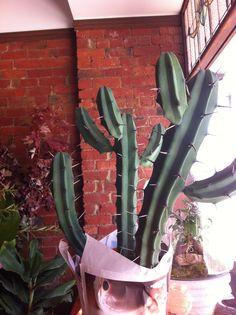 Large cacti  North St Botanical