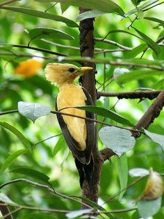 Foto pica-pau-amarelo (Celeus flavus) por Felipe Furtado | Wiki Aves - A Enciclopédia das Aves do Brasil - Pássaro jovem.