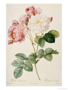Rosa Damascena   von: Pierre-Joseph Redouté 24-66€ (je nach qualität, nicht größe)
