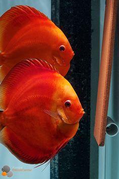 ❤️ Red Melon Jungtiere wieder da! ❤️--> hier könnt ihr die verschiedenen Größen vergleichen: http://europadiscuscenter.de/stockliste