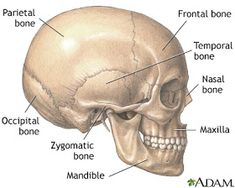 In a Stroke: Proportions of the Face