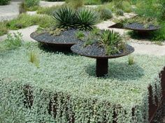 steel bowl planter.  cascading silver ground cover.  big red sun of austin