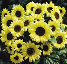 50 Sunflower Valentine Seeds This is for 50 seeds of the valentine helianthus a sunflower. This sunflower gets about 60 tall these will take about 12 weeks to flower after planted. These are great for cut flowers and will last about 10 days. Giant Sunflower, Sunflower Seeds, Cut Flowers, Yellow Flowers, Wild Flowers, Organic Gardening, Gardening Tips, Beautiful Gardens, Beautiful Flowers