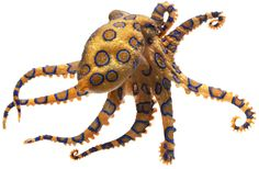 Blue Ringed Octopus Facts For Kids | DK Find Out
