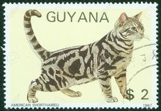 Guyana - circa a stamp printed In Vietnam shows American shorthair Vintage Stamps, Vintage Cat, American Shorthair Cat, Postage Stamp Art, Photo Images, Stamp Printing, Fauna, Stamp Collecting, Cat Art