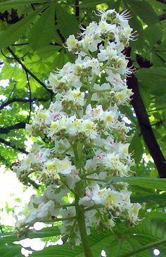Chestnut Bud - Ippocastano - Aesculus Hippocastanum - Fiore di Bach Chestnut Bud, Horse Chestnut, Bach Flowers, Deciduous Trees, Bude, Cherries, Remedies, Gardening, Plants