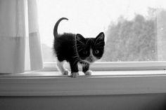 Baby Tuxedo, Tuxedo Kitten, Creature Comforts, Pictures, Photos, Backgrounds, Creatures, Kittens, Glitter