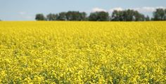 Revamped canola variety trials underway for 2011