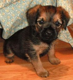 border terrier :) Cute Puppies, Dogs And Puppies, Border Terrier Puppy, Mini Schnauzer, Little Brown, Brown Dog, Cute Creatures, Four Legged, Puppy Love