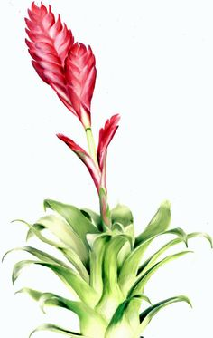 Science illustration - Bromeliad - Illustration of a bromelia with red flower