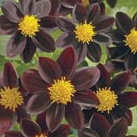 """The perfect addition to your chocolate garden...Chocolate Sundae is a minature dahlia perfect for pots, beds and borders.  A dark maroon flower with a yellow center.  Very lovely!  18-24"""" tall.  Perennial (tuber can be lifted and stored for the winter in colder zones).  Sun lover.  - chocolateflowerfarm.com"""