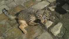 Pocak cica Animals, Animales, Animaux, Animais, Animal