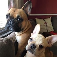 French Bulldogs❤ See this Instagram photo by @frenchiebullys • 139 likes