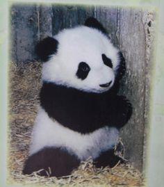 CHU-LIN el primer panda nacido en Europa.Estuvo en el zoo de Madrid hasta su fallecimiento.Qué recuerdos de este osito