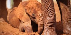 ___The DSWT // Our Rescues___ Kithaka plays in the dust during a daily mudbath Adopt An Elephant, Wild Elephant, Asian Elephant, Elephant Family, Elephant Love, Baby Animals, Cute Animals, Baby Elephants, Rhino Pictures