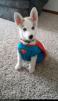 Cutest Husky Puppy Superhero ::: Visit our poster store Rover99.com