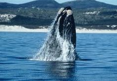 Oh yes, and then there are the whales. How could I forget? See them up close in Hermanus - from the ROCKS! Newfoundland Island, African Holidays, South Afrika, Another Day In Paradise, Whale Watching, African Safari, Holiday Destinations, Natural Wonders, Cape Town