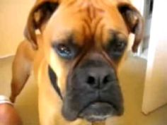 Boxer Imitates Firetruck Siren, And Does A Pretty Darn Good Job At It