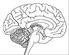 Resultado de imagen para partes de cuerpo humano internas para dibujar